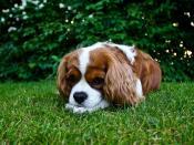 English: A Cavalier King Charles Spaniel (Blenheim-coloured) lying in the grass. Svenska: En Cavalier king charles spaniel (blenheim) ligger i gräset.