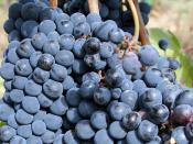English: A close-up view of sangiovese grapes to be made into Chianti at the Colle Lungo vineyard in Castellina in Chianti, Tuscany, Italy