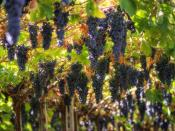 English: Grapes growing in the Italian wine region of Valpolicella in the Veneto.