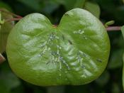 Cacopsylla pulchella (Psyllidae) sobre hojas de Cercis siliquastrum. Madrid, barrio de Peñagrande.