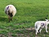 Airfield Farm & House - Sheep