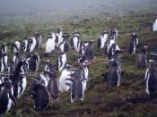 Gentoo colony on Carcass Island in the Falklands