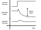 English: The importance of the Bayliss effect in maintaining a constant capillary flow independently of variations in arterial blood pressure