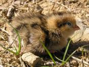 English: Californian quail chick (Callipepla californica) in Wellington, New Zealand (introduced species)