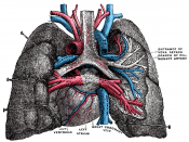 Pulmonary vessels, seen in a dorsal view of the heart and lungs.