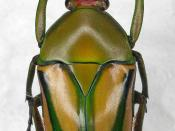 English: Flamboyant Flower Beetle or Striped Love Beetle, Eudicella sp., Family: Scarabaeidae Deutsch: Eudicella sp., Familie: Scarabaeidae