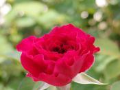 Rose Prospero バラ プロスペロ