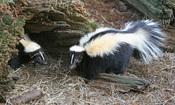 English: Striped Skunks (Mephitis mephitis)