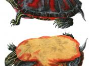 American Red-bellied Turtle, Pseudemys rubriventris, hand-colored lithograph