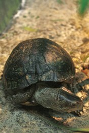 English: Coahuilan box turtle (Terrapene coahuila), in captivity at the Columbus Zoo, Powell, Ohio.