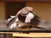 English: Two Northern Mockingbirds at a bird bath in Austin, Texas.