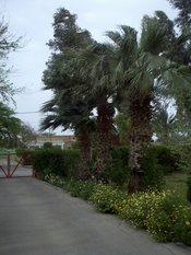 English: an picture of three old palm tree.