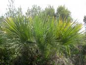 IMG_7187 Chamaerops humilis,  Arecaceae