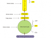 English: ATP producing pathways of glucose metabolism in aerobic respiration