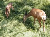 White-tailed Deer, Fawn and mother