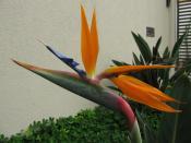 English: Bird of paradise flower (Strelitzia reginae). Spotted in São Carlos, Brazil.