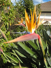Strelitzia reginae, also known as Bird of Paradise.