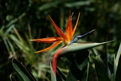 Strelitzia reginae or Bird of Paradise