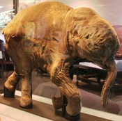 "Lyuba, a baby mammoth discovered in 2007 in Siberia. It is part of a special exhibit ""Mammoths and Mastadons"" at the Field Museum through September."