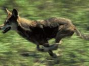 English: Red wolf running