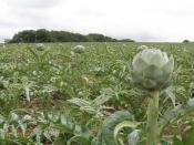 Artichoke field.