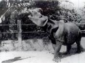 Postcard showing a Javan Rhino, probably in India.
