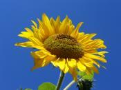 Sunflower (Helianthus annuus L). Słonecznik zwyczajny