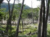 English: Beaver damage to the forest on the north shore of Robalo Lake, Navarino Island, Chile. Español: Daño de los castores en el bosque a la costa norte del Lago Róbalo, Isla Navarino, Chile.