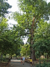 Hangman's Elm in Washington Square Park, New York City