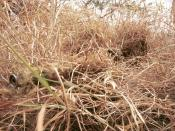 A sniper wearing a ghillie suit to remain hidden in grassland terrain