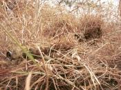 A sniper wearing a ghillie suit to remain hidden in grassland terrain