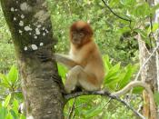 English: Juvenile Proboscis Monkey in Bako National Park, Borneo, Malaysia