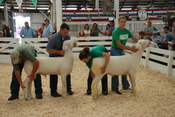 Sheep being judged at the New York State Fair.