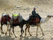 A photograph of three camels, taken at the Pyramids of Giza