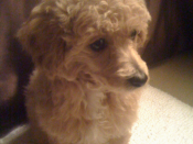 A toy poodle at ten weeks.