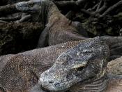 English: Komodo dragon
