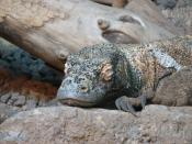 A sleeping Komodo dragon. Its large, curved claws are used in fighting and eating.