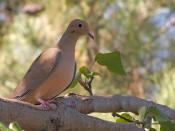 Mourning Dove in the afternoon.