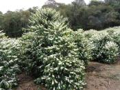 Coffee was the main crop in the 1800's for Puna and has recently made a return