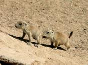 English: Two juvenile Black-tailed Prairie Dogs (Cynomys ludovicianus) at the Rio Grande Zoo in Albquerque, New Mexico, USA.
