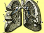 Anatomie van de longen - bewerkt van afbeelding 962 uit de online editie van Gray's Anatomy