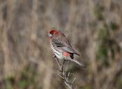 English: Adult male House Finch (Carpodacus mexicanus)