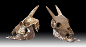 English: Myotragus balearicus Balearian mouse-goat - Skull :: Locality : Islands of Majorca, Spain :: Stage :Lower Paleolithic to neolithic (500.000 to 5000 years Before the Current Era) :: Different views of the same specimen Français : Myotragus baleari