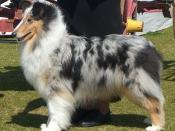 English: Blue Merle Rough Collie Show Stack