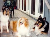From left to right: blue merle, sable and tricolour coloured Rough Collies named Ali, Gretchen and Trixie.