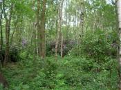 English: Snowball Plantation. Rhododendrons flowering at Snowball plantation, a Scout Association campsite to the north east of York.