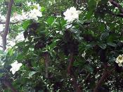 Gardenia, June 28, 2012
