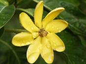 Golden Gardenia (Gardenia tubifera}