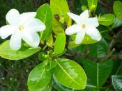 Tahitian gardenia (Gardenia taitensis)