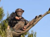The common chimpanzee (Pan troglodytes) is a species of primate in the family of apes (Hominidae). Together with the bonobo (pygmy chimpanzee), they form the category of chimpanzees (Pan).